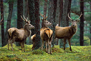 Red deer stags in woodland {Cercus elaphus}  -  Colin Preston