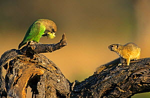 Smiths bush squirrel {Paraxerus cepapi} and Brown headed parrot {Poicephalus cryptoxanthus} South Africa  -  Tony Heald