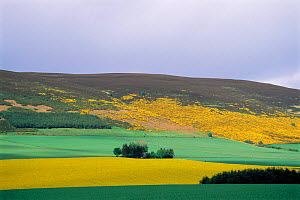 Farmland with moorland behind Oil seed rape crop and Gorse, Huntly, Grampian, Scotland, UK - Brian Lightfoot