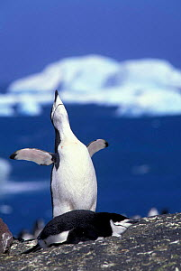 Chinstrap penguin - ecstatic display {Pygoscelis antarctica} South Sandwich Is  -  Pete Oxford