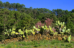Prickly pear cactus {Opuntia ficus indica} with Almond tree and Canary Pines. Canary Is  -  Martin Gabriel