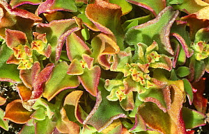Ice plant {Mesembryanthemum crystallinum} Canary Islands. - Martin Gabriel