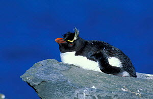 Rockhopper penguin on rock {Eudyptes chrysocome} Falkland Islands  -  Hanne & Jens Eriksen