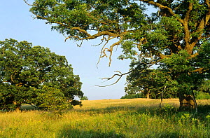 White oak trees {Quercus alba} WI, USA Summer. Sequence  -  Larry Michael