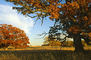 White oak trees {Quercus alba} WI, USA - Early autumn Sequence 4/5  -  Larry Michael