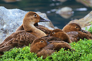 Canvasback ducks {Aythya valisineria} resting together, Alaska, USA  -  David Welling