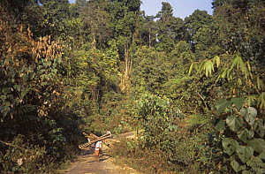 Bamboo being collected from forest Assam, north east India  -  Vivek Menon
