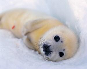 RF- Harp seal pup on ice (Phoca groenlandicus). White sea, Russia. (This image may be licensed either as rights managed or royalty free.) - Staffan Widstrand