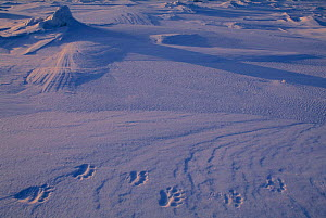 Tracks of Polar bear in snow {Ursus maritimus} Baffin Island, Nunavut, North West Territories, Canada - Staffan Widstrand