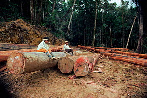 Loggers rest on timber in the rainforest Sabah, Borneo Indonesia - Dario Novellino