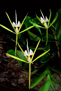 Rainforest orchid with white flowers, Iwokrama Reserve Guyana, South America - Pete Oxford