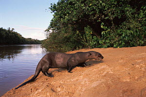 Giant otter at edge of river {Pteronura brasiliensis}  Guyana  -  Pete Oxford