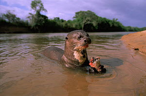 Giant otter eating a fish {Pteronura brasiliensis}  Guyana  -  Pete Oxford
