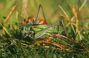 Wart biter cricket (Decticus verrucivorus) Kent, UK  -  Chris Packham