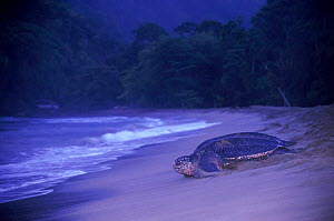 Leatherback female returning to sea {Cermochelys coriacea} Grande Riviere, Trinidad  -  Pete Oxford