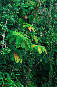 Treefern in subtropical rainforest. Luquillo NF,  Puerto Rico, West Indies  -  Doug Wechsler