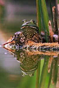 Bullfrog female by garden pond {Rana catesbeiana} Pennsylvania, USA  -  Doug Wechsler