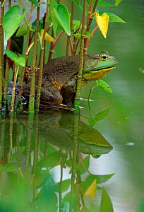 Bullfrog male in garden pond {Rana catesbeiana} Pennsylvania, USA.  -  Doug Wechsler