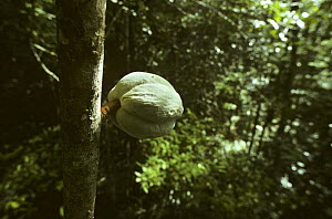 Cocoa pod attached to tree (Theobroma cacao) Amazonia, Brazil - Nick Gordon