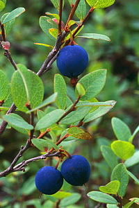 Blueberry {Vaccinium sp} Fruiting plant N Quebec, Canada - Jose Schell