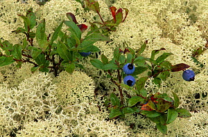 Blueberry {Vaccinium sp} and Lichen,  N Quebec, Canada  -  Jose Schell