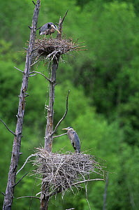 Great blue herons {Ardea herodias} nesting in dead tree, Quebec, Canada - Louis Gagnon