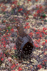Spruce grouse {Falcipennis canadensis} juvenile male in taiga habitat, Quebec, Canada - Jose Schell