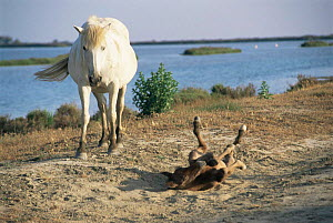 Wild Camargue horses - dark foal rolling in sand {Equus caballus} Camargue, France, Europe  -  Jean E. Roche