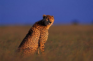 Female Cheetah sitting {Acinonyx jubatus} Masai Mara GR, Kenya  -  Peter Blackwell