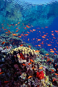 Coral reef scenery with Anthias, Red Sea  -  Georgette Douwma