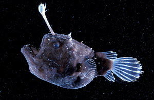 Female Angler fish {Himantolophus sp} deep sea species  -  David Shale