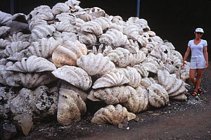 Pile of discarded Giant Clam shells {Tridacna gigas} delicacy, Papua New Guinea  -  David Hall