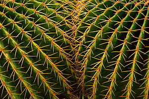 RF- Golden barrel cactus close-up (Echinocactus grusonil). (This image may be licensed either as rights managed or royalty free.)  -  Larry Michael