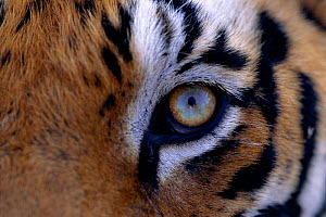 Close up of Tiger face {Panthera tigris}, India  -  Toby Sinclair