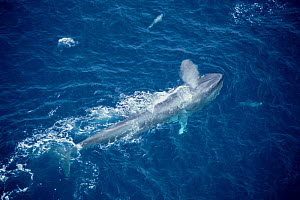 Aerial view of feeding Blue whale at sea surface {Balaenoptera musculus}, Mexico - DOC WHITE