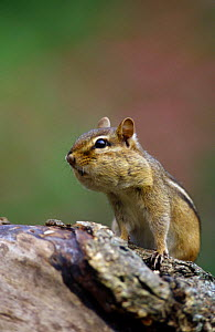 Eastern american chipmunk {Tamias striatus}, feeding on black sunflower seeds, Pennsylvania, USA.  -  Niall Benvie