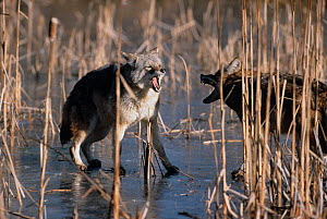 Two Coyotes {Canis latrans} fighting on frozen pond, Kettle River, Minnesota, USA, winter - Thomas Lazar