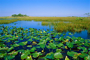 Everglades NP with waterlilies and swamp Florida, USA  -  Hanne & Jens Eriksen