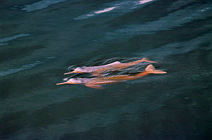 Bouto or Amazon pink river dolphin {Inia geoffrensis} swimming at surface, Mamiraua, Brazil - Pete Oxford