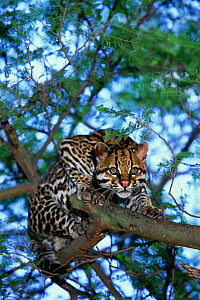 Ocelot in tree {Felis pardalis} Native to South America  -  Pete Oxford