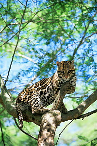 Ocelot {Felis pardalis} resting in tree, captive, from central and south america  -  Pete Oxford