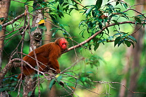 Red uakari monkey in tree Amazon rainforest, Brazil, South America  -  Pete Oxford