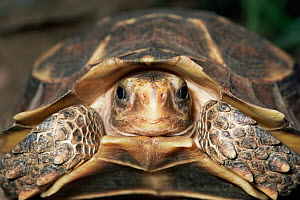 Tortoise head close up species unknown Sequence 2/2  -  Phil Savoie