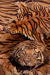 Fake Tiger skin made from Dog skin painted with stripes lies over real Tiger skin, India  -  Vivek Menon