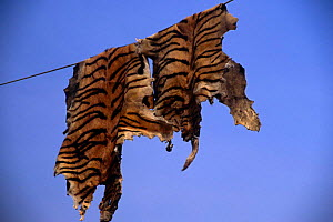 Fake tiger skins made from Dog skins painted with stripes hang on line to dry, India  -  Vivek Menon