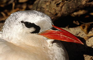 Red tailed tropic bird {Phaethon rubricauda} portrait, Midway Atoll, Pacific - Michael Pitts