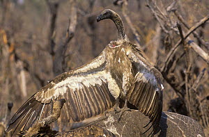 White backed vulture {Gyps africanus} defending carcass from another vulture, Linyanti, Botswana  -  Pete Oxford
