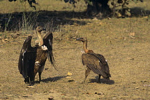 Long billed vulture (Gyps indicus) display, Bandhavgarh NP, India, Critically endangered species - Pete Oxford