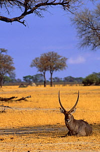 Male Waterbuck resting in shade {Kobus ellipsiprymnus} Hwange NP, Zimbabwe, Southern Africa  -  Pete Oxford