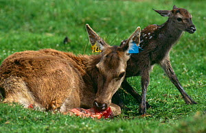 Red deer female with newborn calf {Cervus elaphus} eating afterbirth, UK, captive - Brian Lightfoot